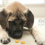 saban english mastiff eating dog biscuit at joyslife