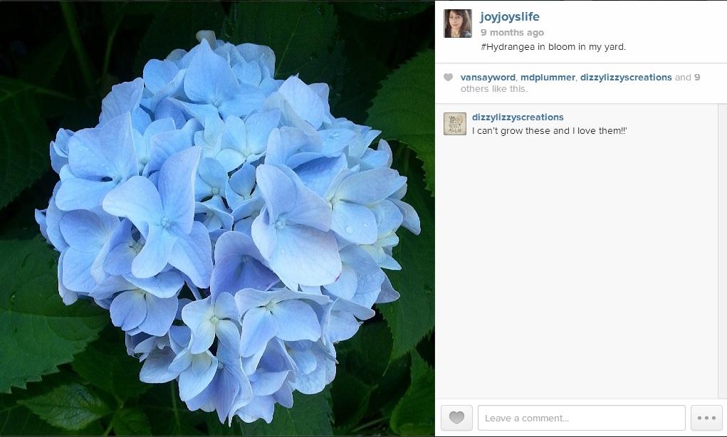 #Hydrangea bloom in my yard #Joyslife #Instagram