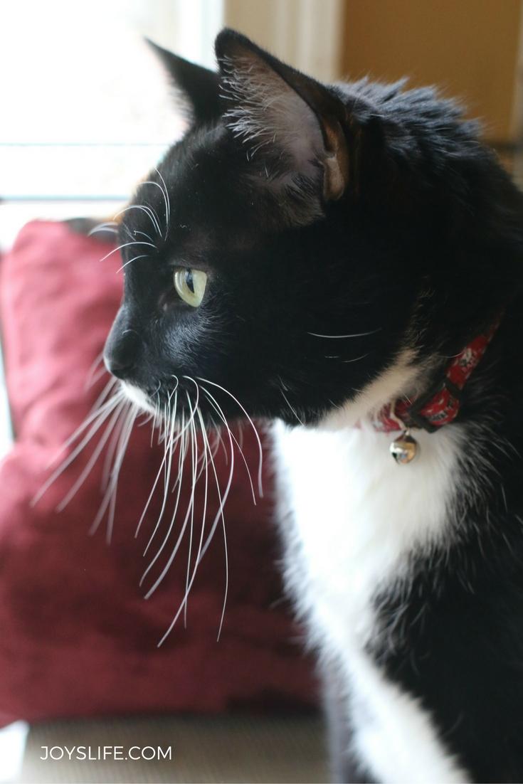 Domino tuxedo cat plotting